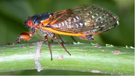 A-mature-Brood-X-periodical-cicada-during-oviposition-into-a-young-tree-branch-June